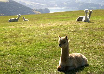 ニュージーランドのアルパカ