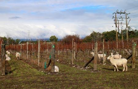 ニュージーランド ワイン畑