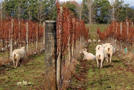ワイン畑と羊