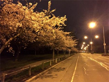 ニュージーランドの桜