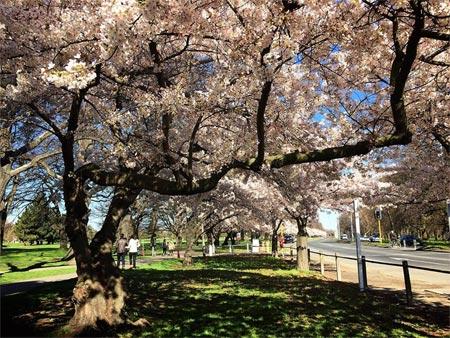 桜 クライストチャーチ