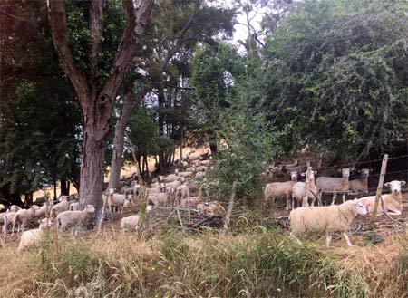 羊との生活