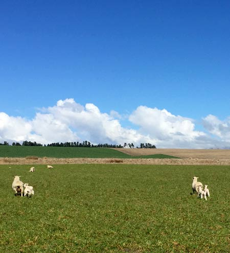 ニュージーランド 子羊
