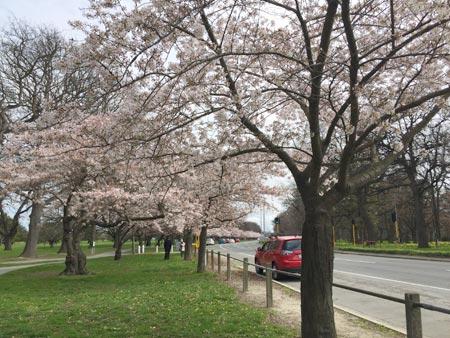 桜 ニュージーランド