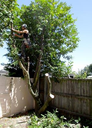 ニュージーランド 木を切る